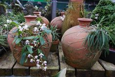 Orchids mounted on clay pots