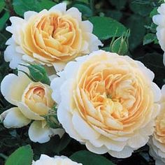 """English Rose """"Crocus Rose"""" is a very robust and free flowering variety bearing large, rosette-shaped flowers that are cupped at first"""