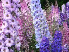 September Flowers - Delphinium