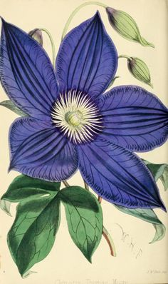 """Clematis 'Thomas Moore' (1869) The Florist and Pomologist,London, """"Journal of Horticulture"""""""