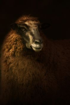 Portrait of a Tawny crossbreed ewe looking off to the side in dramatic lighting. Reforming these lost connections with livestock is what motivated Cally Whitham to create farm animal portraits that look like Dutch master paintings.