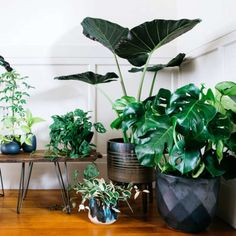 Clustered in an entryway, a grouping of big-leafed houseplants makes for a lush focal point. From left: Schefflera 'Amate'; lipstick plant (Aeschynanthus radicans); smaller elephant's ear (Alocasia 'Polly'); 'Neon' pothos (Epipremnum aureum); Swiss cheese vine (Monstera obliqua); variegated wax plant (Hoya carnosa 'Variegata'); elephant's ear (Alocasia 'Regal Shields'); and split-leaf philodendron (Monstera deliciosa). Many houseplants, including 'Neon' pothos, can live in vases for…