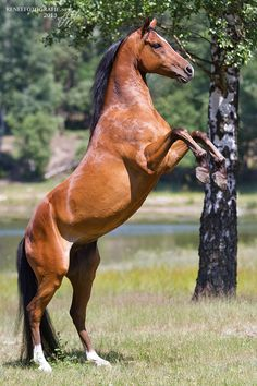Blood bay horse rearing on its hind legs