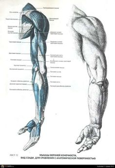 It's about the arms Arm Anatomy, Human Anatomy Drawing, Human Body Anatomy, Anatomy Poses, Muscle Anatomy, Anatomy Study, Body Drawing, Anatomy Reference, Life Drawing