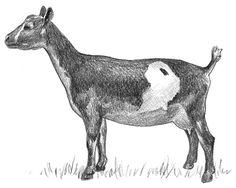 Article on Miniature Dairy Goat Breeds
