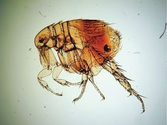 Rat fleas-Most dangerous insects