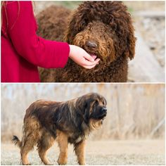 Giant Schnauzer, Puppies For Sale, Poodle, Homestead, Poodles