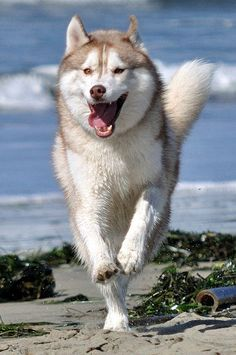Siberian Husky running in the sand. Look at that face! :)