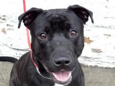MAX is an adoptable Pit Bull Terrier Dog in New York, NY. A volunteer writes: Max was a little tense when I first met him. He is a medium size young man all wiggly in his kennel and wearing a shiny fl...