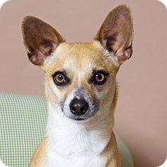 Gilbert, AZ - Chihuahua Mix. Meet Joey, a dog for adoption. http://www.adoptapet.com/pet/12650064-gilbert-arizona-chihuahua-mix