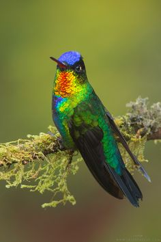 There are about 338 different species of hummingbirds - an amazing family of birds found only in the New World. Their ability to hover for extended periods of time and even fly backwards makes them unique in the bird world. What they lack in size, they make up for with energy; the pinnacle of