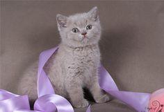 lilac british boy