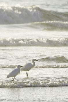 Fishing   -   Snowy Egret   -  Carpinteria, CA  -   2010   -   Karol Franks photography   -  https://www.flickr.com/photos/karolfranks/5208815856/