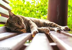 Cat sleeping at the Legend maeklong resort    http://www.hello-thailand.net/
