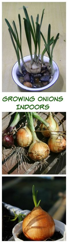 House Plant Maintenance Tips Growing Onions Indoors Is Really Quite Easy. Onions Are Persistent And Those Roots Just Want To Keep Growing. See Several Different Ways To Grow Onions Indoors. Growing Vegetables Indoors, Winter Vegetables, Herbs Indoors, Fresh Vegetables, Hydroponic Growing, Hydroponic Gardening, Hydroponics, Indoor Vegetable Gardening, Organic Gardening