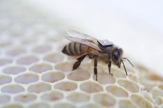 A new Australia-led initiative wants to save the world's honeybees.