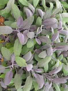 Fresh Herbs Make Cooking Fun Purple Sage – The Farmington Gardens Blog