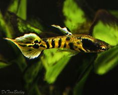Endlers Livebearers | ... .net, where you can shop online for an Endler's Livebearer