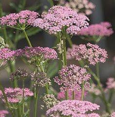 Pimpinella major rosea ....not sure if it's indeed what they are, but they look like pink queen anne's lace <3 Win!