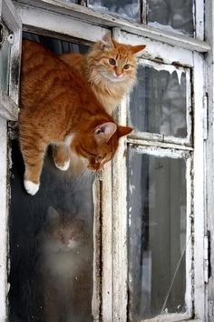 cats climbing out of window