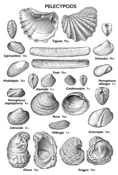 lL fossils - Pelecypods (peh-les'-i-pods) include oysters, clams, mussels, and cockles. They have been found in some of the oldest marine rocks known and still are very numerous in the seas and rivers today. In the past, some pearl buttons were made from clam shells from the Illinois and Mississippi Rivers. This major industry caused near extinction of some species.
