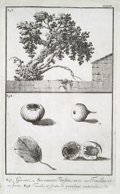 Fig. 1. Giomez, ou Sicomore (Ficus fatua) avec ses feuilles et ses fruits; Fig. 2. Feuilles et fruits, de grandeur naturelle. From New York Public Library Digital Collections.