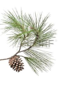 Pine branch with cone isolated on white background Stock Photo