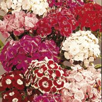 Sweet William Perfume Mix Seeds: Bright range of colours. Clustered heads of very fragrant single flowers in attractive self-colours and combinations. Good cut flowers with lon… Cut Flowers, Colorful Flowers, Flower Colors, Planting Seeds, Planting Flowers, Buy Seeds Online, Dog Friendly Garden, Dianthus Barbatus, Biennial Plants