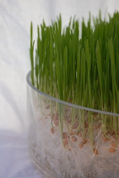 wheat grass grown with no dirt. beautiful.