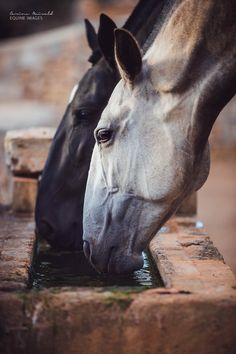 Horses drinking out of trough, I love their Roman noses.