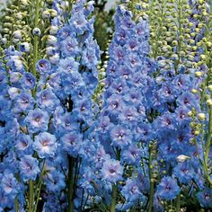 Delphinium Blue Lace I love these tall sky blue flowers. Each small flower that clings to the stem can have up to 30 petals making them an amazing delphinium. The center bees can be light or dark and some petals can have just a blush of lavender pink. Blue Garden, Shade Garden, Garden Plants, Delphinium Plant, Delphiniums, Beautiful Gardens, Beautiful Flowers, Flower Garden Plans, Gardens