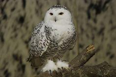 artic owl | Arctic Owl in Fuzzy Slippers