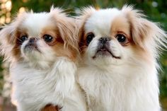 japanese chin puppies! i want to name mine pippa!