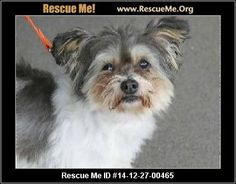 Urgent: This animal could be euthanized if not adopted soon. Animal ID: 1365Teddy (female) Maltese Mix Age: Adult Compatibility: Good with Most Dogs, Good with Kids and Adults Personality: Average Energy, Average Temperament Health: Spayed Teddy is a very friendly ~ 8 year old Yorkie / Maltese mix who needs a loving home soon! She is already spayed and micro-chipped so her adoption fee is only $40. Teddy will need some dental work. She would make a great companion for some ...