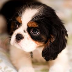 and they call it puppy love Beautiful Cavalier King Charles Spaniel puppy Cute Puppies, Cute Dogs, Dogs And Puppies, Doggies, Cavalier King Charles Spaniel, Spaniel Puppies, Cocker Spaniel, Mundo Animal, Beautiful Dogs