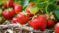 I miss strawberries. Despite the fact that my acquaintance with them began quite by accident, I still miss them. It all started when, as a child, I was foraging in the woods behind my house and stu...