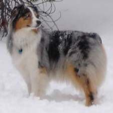 Australian Shepherd dogs are the best...Had my Bandit 17 years before he died last year.....