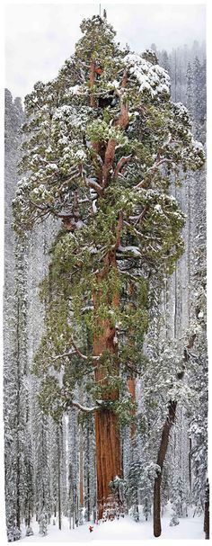 "Photographing a Giant Sequoia - Neatorama. ""How do you photograph a 3,200-year-old giant sequoia that rises 247 feet from the ground? Michael ""Nick"" Nichols did it by stitching together 126 images into one fantastic photo of an absolutely majestic tree."""