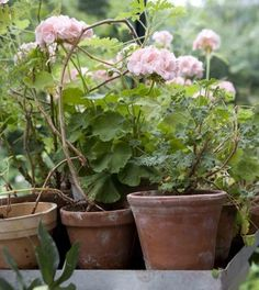 pink geranium and clay pots. Garden Cottage, Garden Pots, Vegetable Garden, Pink Garden, Dream Garden, Container Plants, Container Gardening, Pink Geranium, English Country Gardens
