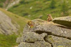 Marmotte des Alpes  (Ref : fm-30)