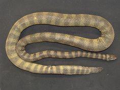 The newfound sea snake Hydrophis donaldi.
