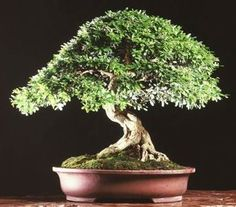 Bonsai Accacia