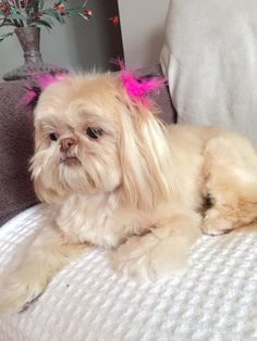 Cream Shih-Tzu from GloryRidge.com Shitzu Puppies, Therapy Dogs, Shih Tzu, Dog Days, Dog Training, Pets, Bulldogs, Animals, Cream