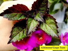 Achimenes 'Grape Tears '   by Serge Saliba