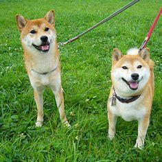 japan 柴犬