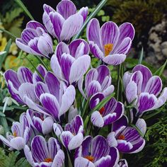 Buy Crocus bulbs at J Parkers. We have a huge selection of crocus bulbs, including the most popular crocus colours and sizes. Crocus Bulbs, Snow Flower, Build Your Brand, Plant Care, Garden Planning, Pretty Flowers, Rose, Spring, Wonderland