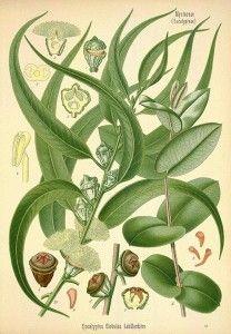 Eucalyptus Globulus Uses, Health Benefits and Side Effects