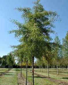 Alnus glutinosa Imperialis Grows from shrub into a graceful, average-sized tree. Pocket Park, Tree Shapes, Shrubs, Trees, Google Search, Plant, Shrub, Home Decor Trees, Wood