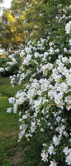 Summer White Cottage, Cottage Chic, Flowering Shrubs, White Gardens, Dream Garden, Natural Beauty, Castle, Norway, Nature
