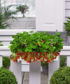 Des jardini res et des pots sp cial balcon - Planter fraisier en jardiniere ...
